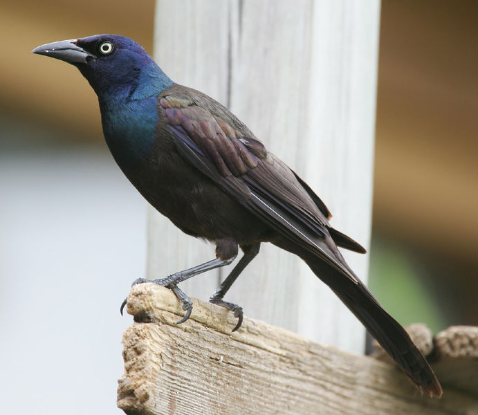 Common Grackle, Photo   Mdf (Wikipedia)